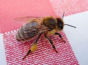 Bienescharf