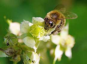 Biene unscharf